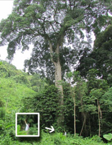 Massive Ceiba Tree in Costa Rica